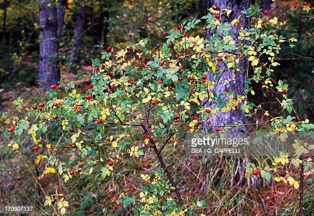 False fruits of Dog Rose Casentino Forest National Park Mount Falterona Campigna Tuscany Italy