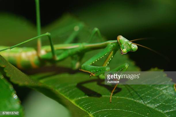 False garden mantis Pseudomantis albofimbriata portrait taken in suburban garden Canberra Australian Capital Territory Australia