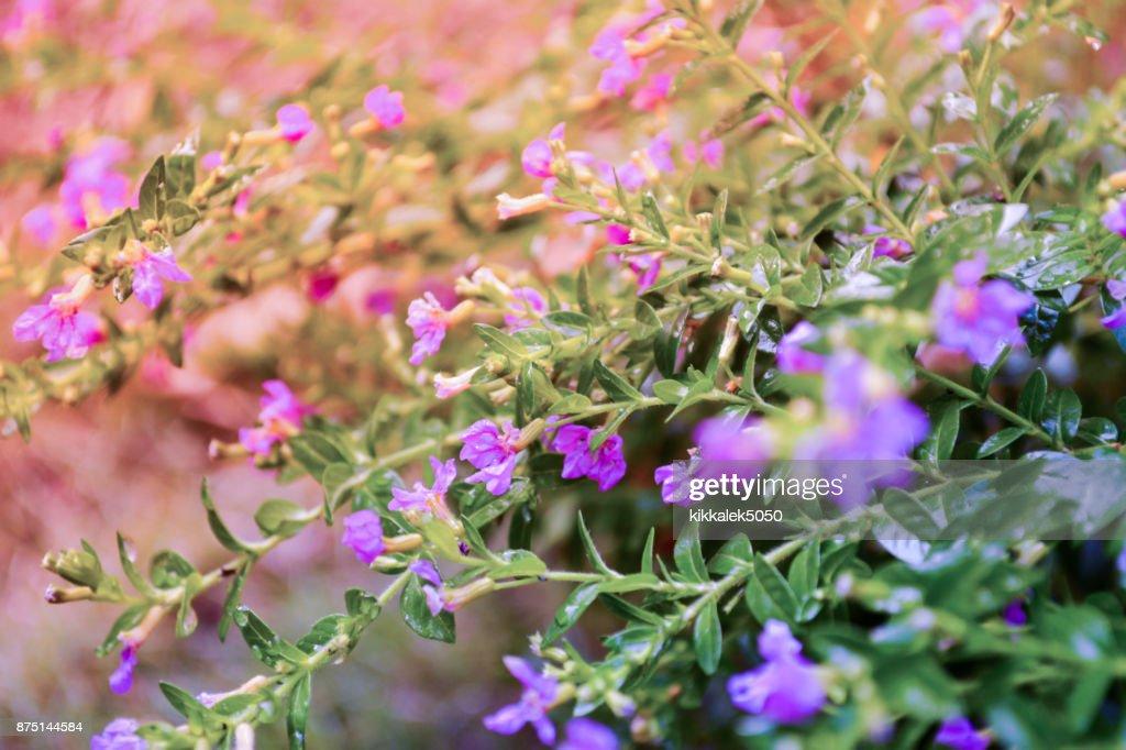 False heather elfin herbsmall purple flower spring nature background false heather elfin herbsmall purple flower spring nature background stock photo mightylinksfo
