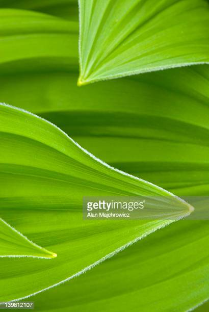 false helebore/ corn lily (veratrum viride) - カリフォルニアバイケイソウ ストックフォトと画像