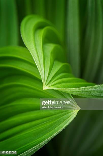 false helebore (veratrum viride) corn lily - カリフォルニアバイケイソウ ストックフォトと画像