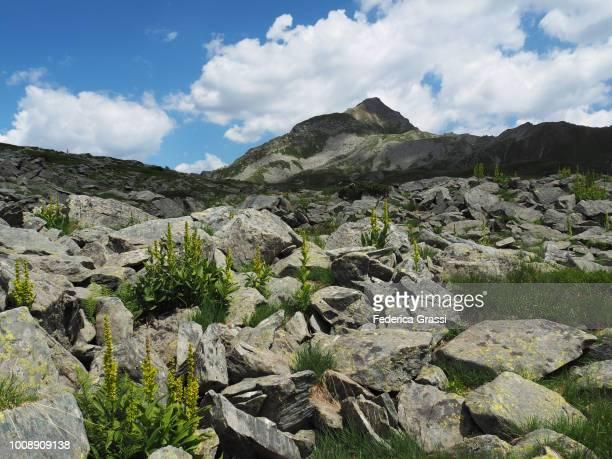 false hellebore (veratrum album) flowering among granite rocks in zwischbergental - バイケイソウ ストックフォトと画像