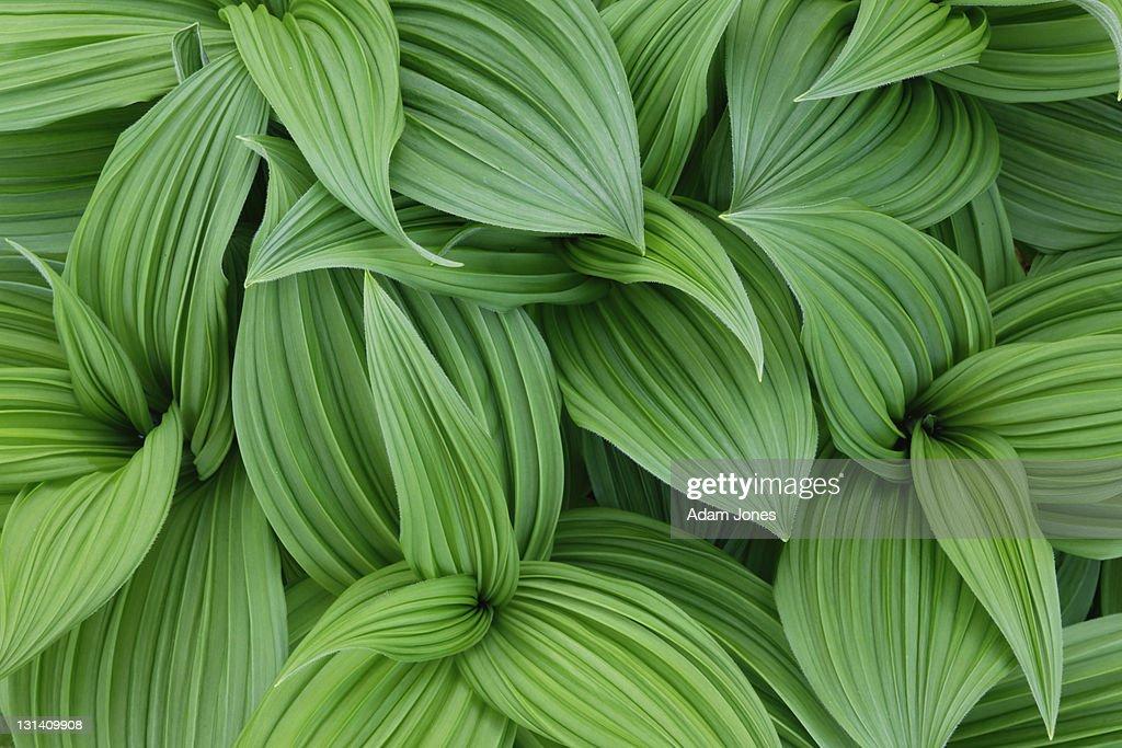 False hellebore pattern, Veratrum californicum : ストックフォト