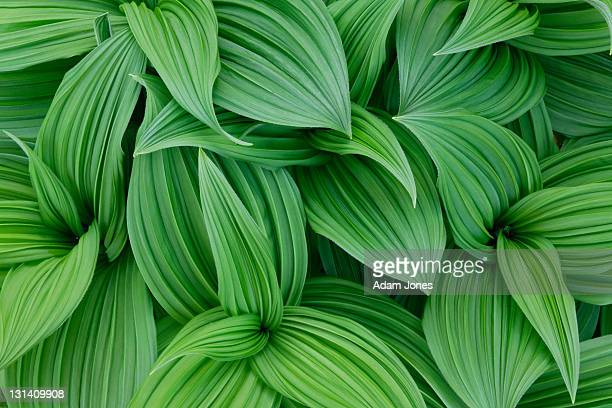 false hellebore pattern, veratrum californicum - pflanze stock-fotos und bilder