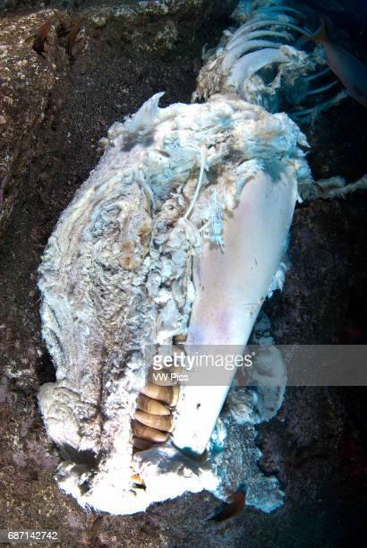 false killer whale carcass San Benedicto island Revillagigedo archipelago Pacific ocean Mexico