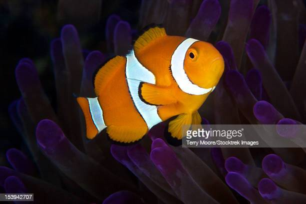 false ocellaris clownfish in its host anemone, papua new guinea. - damselfish stock photos and pictures