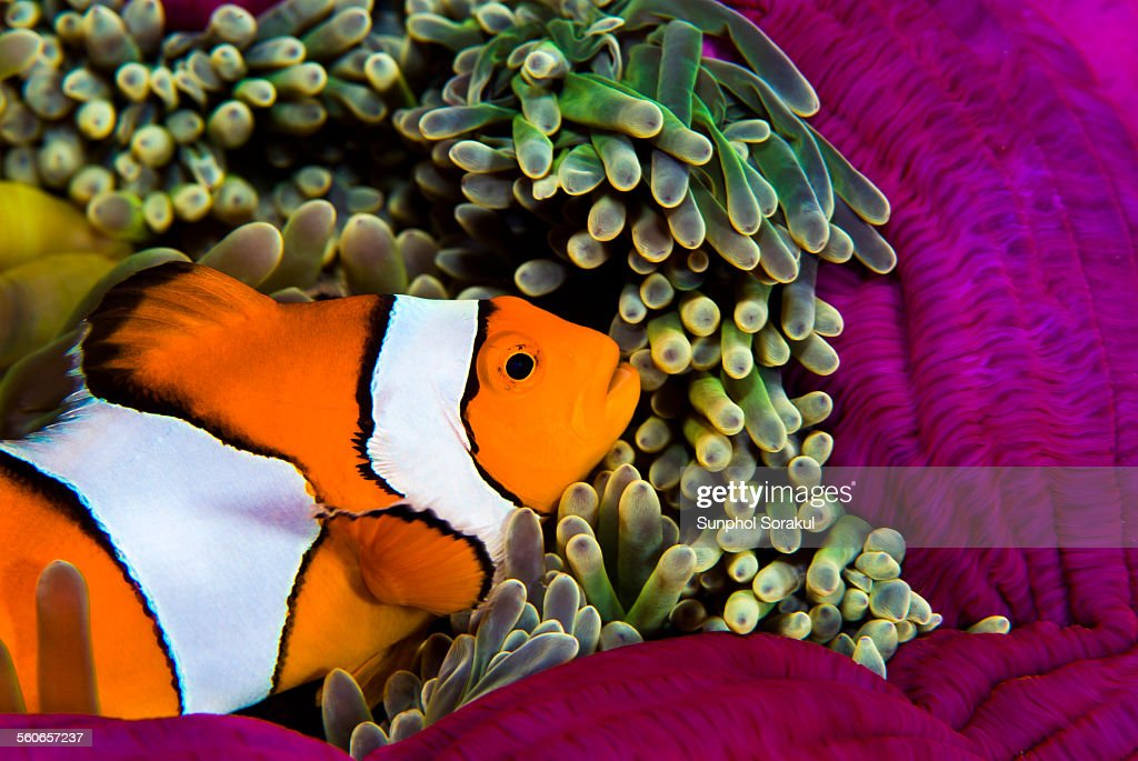 A False Percula Clownfish (Amphiprion ocellaris) : Stock Photo