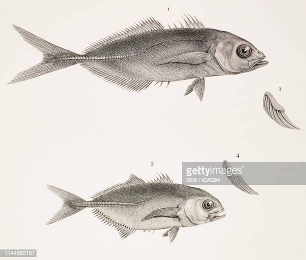 False Scad Blue runner Zoology plate by Etienne Geoffroy SaintHilaire engraving by Bouquet after a drawing by Geoffroy SaintHilaire from Description...