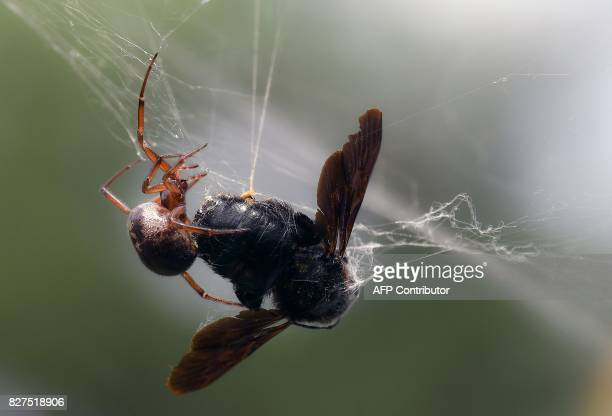 A false widow spider begins the process of wrapping its prey caught in its web in silk in a garden in the southern French city of Toulouse on August...