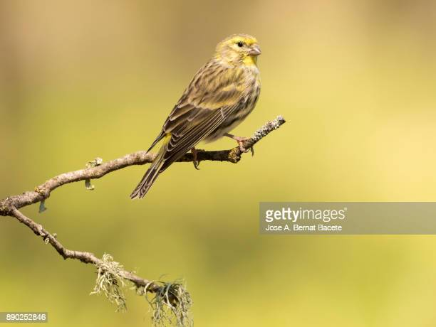 Famale European Greenfinch , (Chloris chloris), standing eating seeds on a bare branch with lichens, on a natural green and yellow background. Spain, Europe.