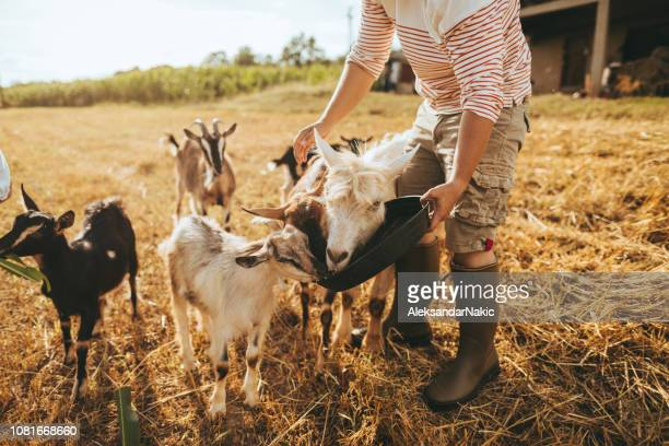 family at the farm - goats stock pictures, royalty-free photos & images