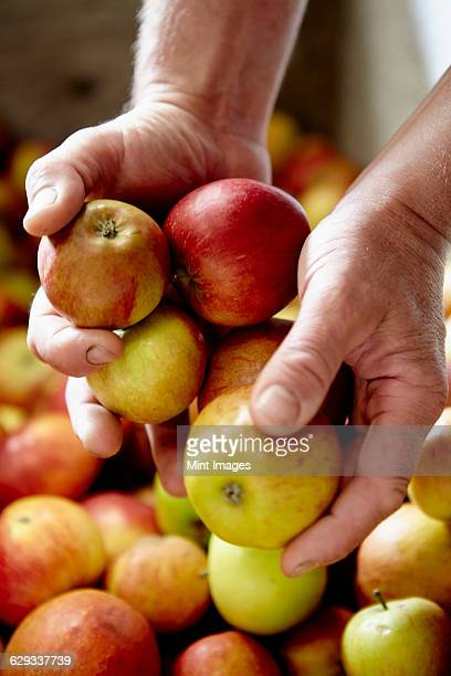 A family cider making business. A person sorting apples.