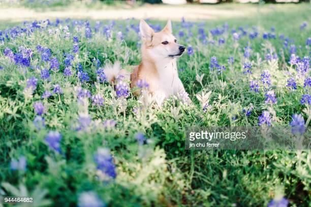 Family Dog in Bluebonnet Field