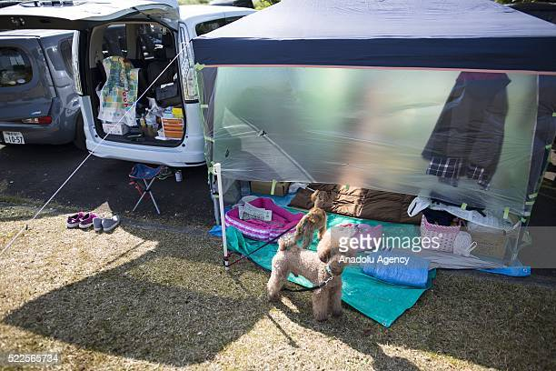 A family dog survived from earthquake is seen in the morning on April 20 2016 in Mashiki Gymnasium parking area Kumamoto Japan As of April 45 people...