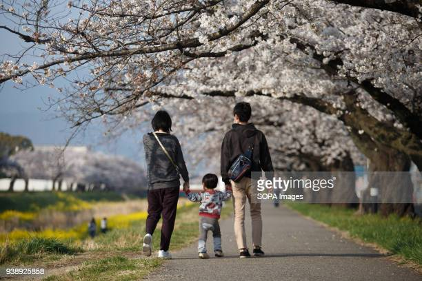 Family enjoy cherry blossoms in Toyokawa The Cherry blossom also known as Sakura in Japan normally peaks in March or early April in spring The Sakura...