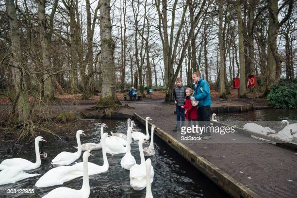 family feeding swans - genderblend stock pictures, royalty-free photos & images