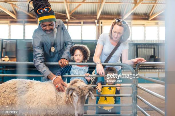 family feeding the sheep on an australian farm - zoo keeper stock pictures, royalty-free photos & images