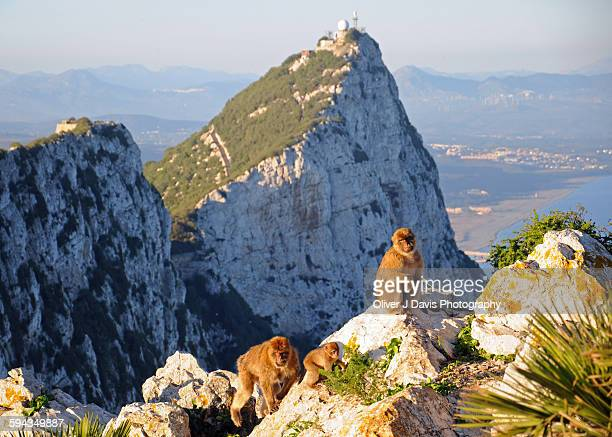 family group of monkeys on the rock gibraltar - rock of gibraltar stock photos and pictures