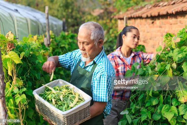 Family harvesting green beans