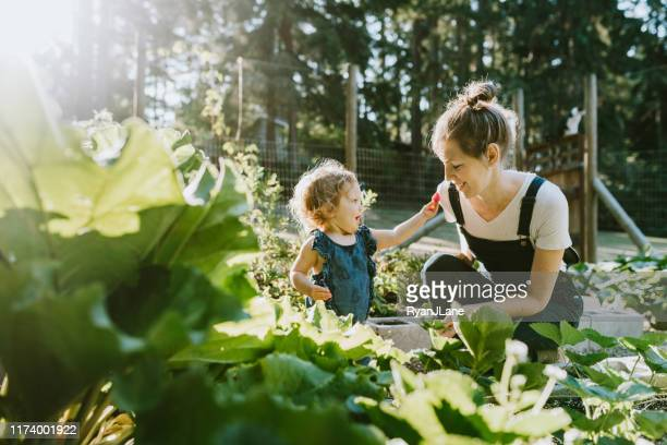 family harvesting vegetables from garden at small home farm - lifestyles stock pictures, royalty-free photos & images