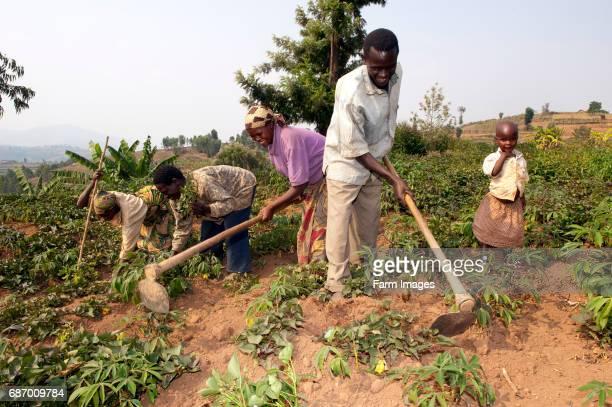 Family hoeing Cassava crops for weeds Rwanda