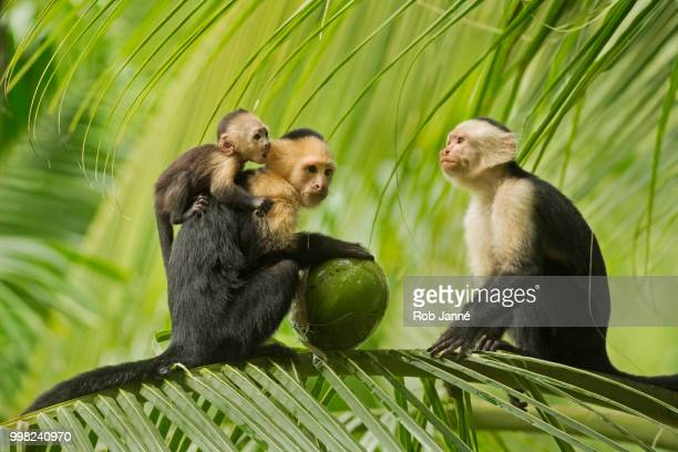 family hour - capuchin monkey stock pictures, royalty-free photos & images