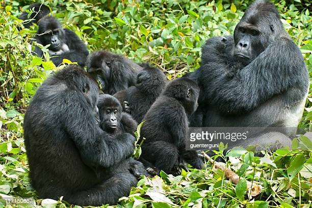 la vida familiar, eastern llanura gorilas, en congo, toma vida silvestre - gorila lomo plateado fotografías e imágenes de stock