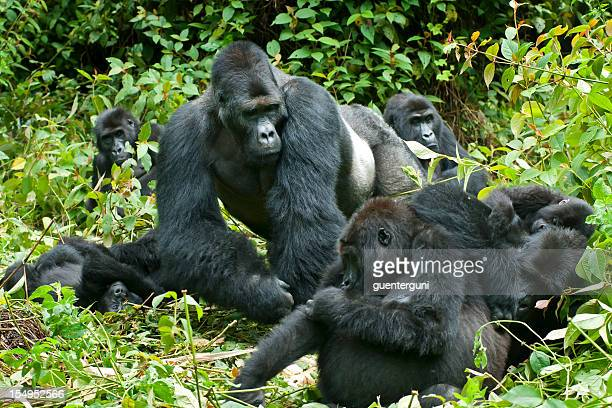 Family Life, Eastern Lowland Gorillas in Congo, wildlife shot
