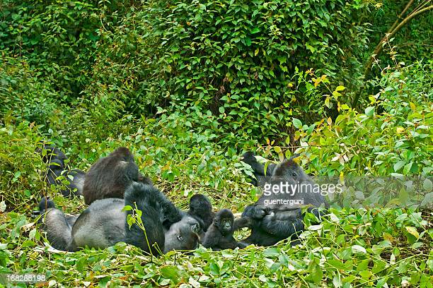 family life, eastern lowland gorillas in congo, wildlife shot - gorilla stock pictures, royalty-free photos & images