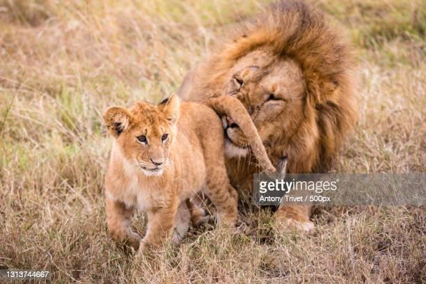 family lions,maasai mara national reserve,kenya - nature reserve stockfoto's en -beelden