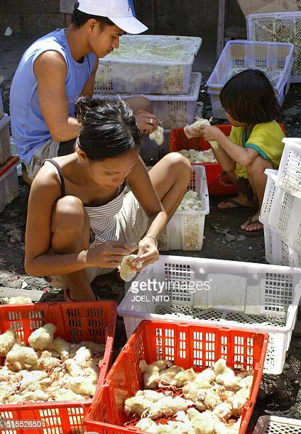 A family living near the railway prepare newlyhatched chicks to be dressed grilled and sold as street food publicly known as one day old chick which...
