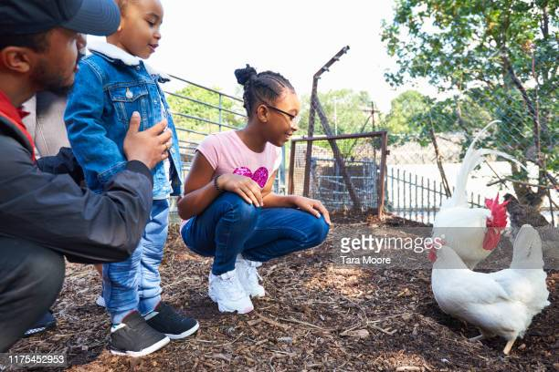 family looking at chickens at farm - urban garden stock pictures, royalty-free photos & images