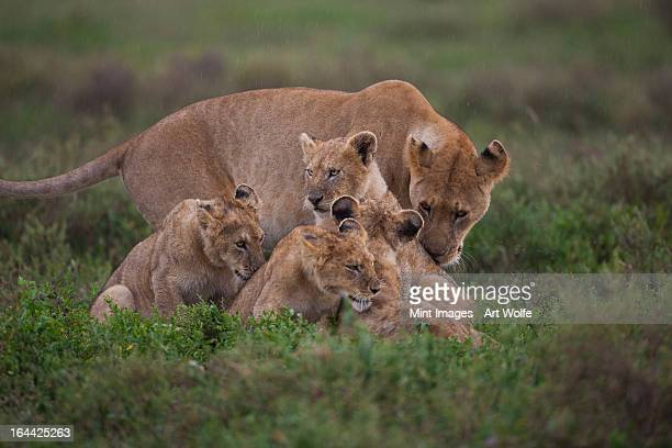 A family of a lion and her cubs on the Serengeti National Park, Tanzania