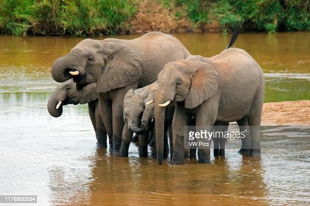 Family of African bush elephants. Loxodonta africana. Drink water at the Crocodile River. Kruger National Park. South Africa.