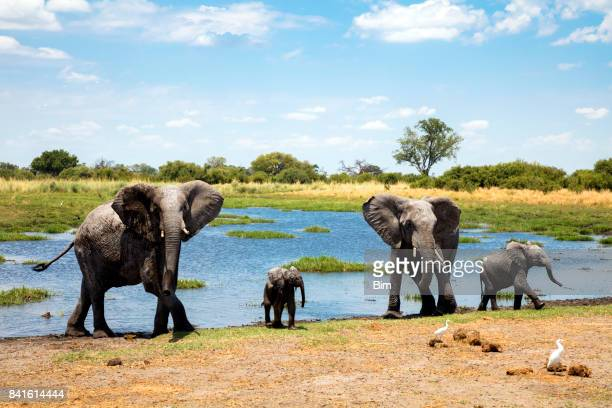 family of african elephants at waters edge - botswana stock pictures, royalty-free photos & images