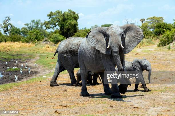 Family of African elephants at waters edge
