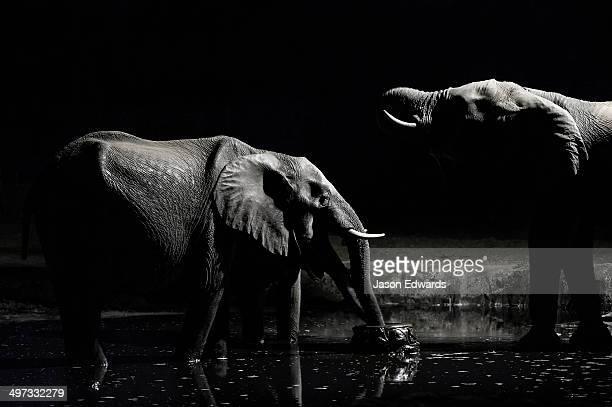 A family of African elephants drink from a floodlit waterhole beneath acacia trees on the savannah veld.