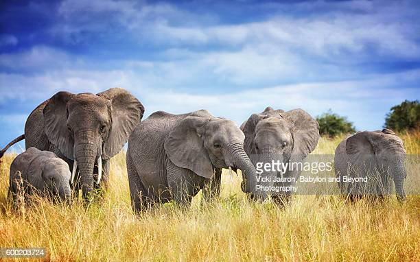a family of african elephants in tarangire national park, tanzania - tarangire national park stock pictures, royalty-free photos & images