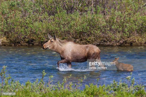 Family of Alaska mooses (Alces alces gigas) wading in water, Alaska, USA