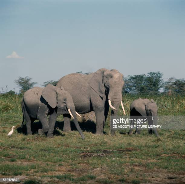 Family of Asian or Asiatic Elephants Elephantidae