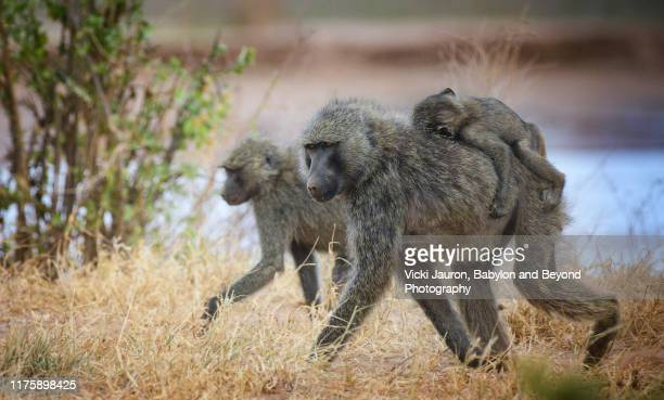 family of baboons on the move against the ewaso ng'iro river at samburu, kenya - baboon stock pictures, royalty-free photos & images