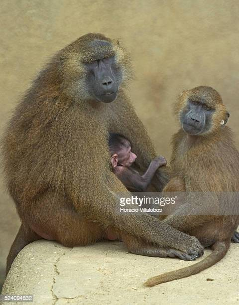 A family of baboons sit in the sun at the Zoo de Vincennes in Paris