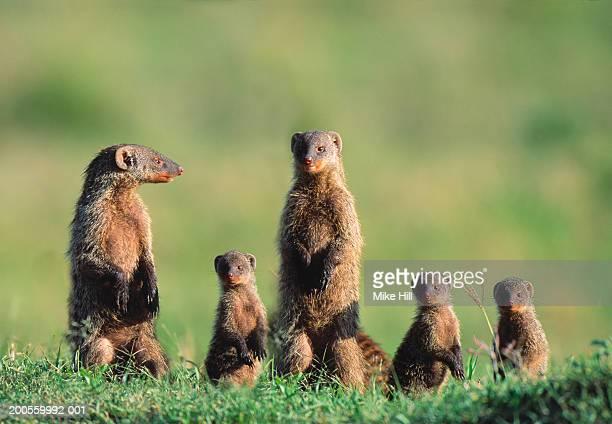 family of banded mongoose (mungos mungo) - mangusta foto e immagini stock