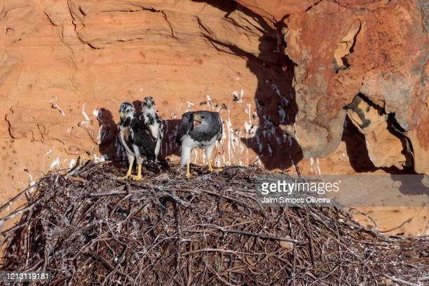 family of black-chested buzzard-eagle in the nest. - águia serrana - fotografias e filmes do acervo