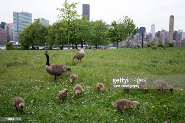 family of canada geese grazing on green area in long island city, with skyline of manhattan in the background. new york city, usa - queens new york city stock pictures, royalty-free photos & images
