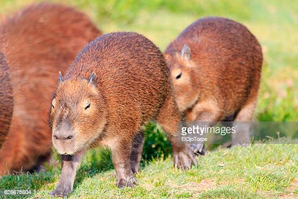 Family of capybara in Maldonado, Uruguay