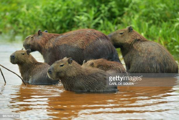 A family of Capybaras is pictured at the Pantanal wetlands in Mato Grosso state Brazil on March 7 2018 The Pantanal is the largest wetland on the...