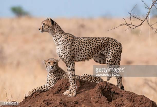 family of cheetah on field, meru national park, kenya - meru filme stock-fotos und bilder