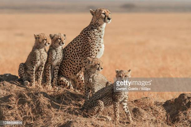 family of cheetah sitting on field - animals in the wild stock pictures, royalty-free photos & images