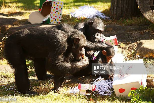 A family of Chimpanzees eat and play at Taronga Zoo on December 4 2015 in Sydney Australia Taronga's animals were given special Christmasthemed...